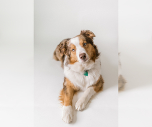 Mother of the Australian Shepherd puppies born on 03/15/2020