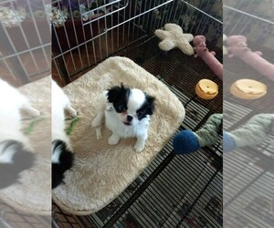 Japanese Chin Puppy for Sale in TUCSON, Arizona USA