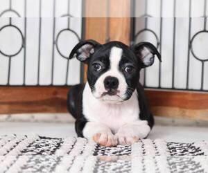 American Boston Bull Terrier Puppy for sale in NAPLES, FL, USA