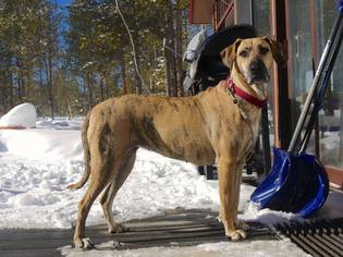 Desere (Dessie) - Bluetick Coonhound / Mixed (short coat) Dog For Adoption