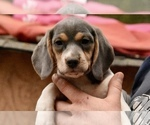 Beagle Puppy For Sale near 72936, Greenwood, AR, USA