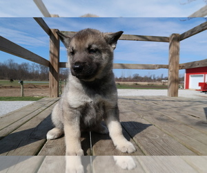 Norwegian Elkhound-Siberian Husky Mix Puppy for sale in CHICAGO, IL, USA