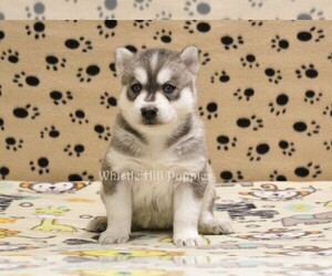 Pomsky Puppy for sale in DENVER, PA, USA