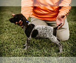 Small #12 German Shorthaired Pointer
