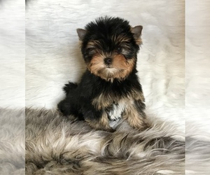 Yorkshire Terrier Puppy for sale in ROANOKE, VA, USA