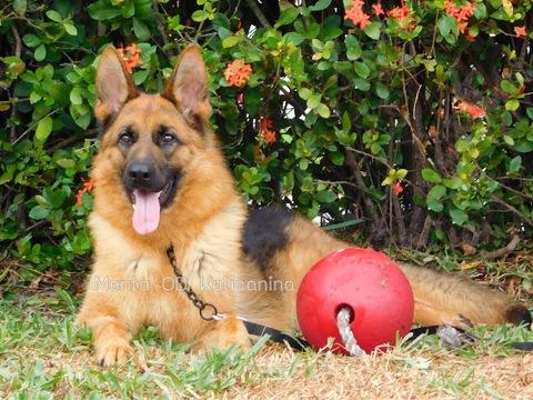 View Ad: German Shepherd Dog Puppy for Sale near Greece