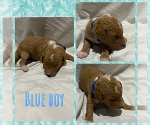 Goldendoodle Puppy for sale in LEBANON, MO, USA