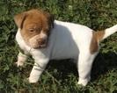 Alapaha Blue Blood Bulldog Puppy For Sale in BATESVILLE, AR, USA