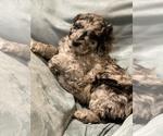 Puppy 6 Bernedoodle-Poodle (Standard) Mix