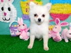 Pomeranian Puppy For Sale in HAMMOND, Indiana,