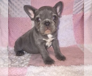 French Bulldog Puppy for sale in ROSEVILLE, CA, USA