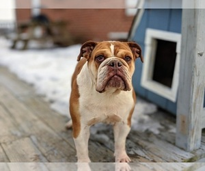 Medium Bulldog