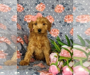 Goldendoodle Puppy for Sale in KIRKWOOD, Pennsylvania USA