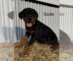 Rottweiler Dog for Adoption in ORRVILLE, Ohio USA