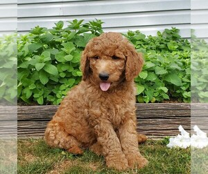 Labradoodle-Poodle (Standard) Mix Dog for Adoption in LEOLA, Pennsylvania USA