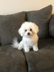 Bichon Frise Puppy For Sale in BROOKSIDE, VT, USA