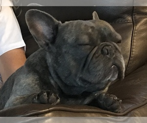 Father of the French Bulldog puppies born on 01/22/2021
