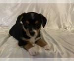Puppy 8 Aussie-Corgi
