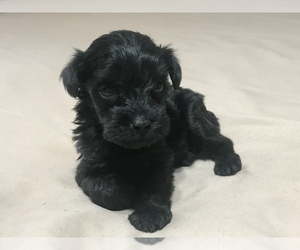 Poodle (Toy)-Schnauzer (Miniature) Mix Puppy for sale in WEWAHITCHKA, FL, USA
