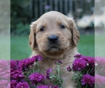 Golden Retriever Puppy For Sale in ALBANY, NY, USA
