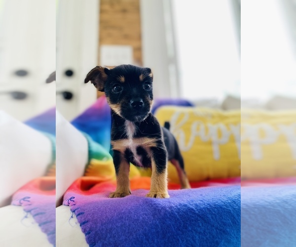 Medium Photo #2 Chorkie Puppy For Sale in COOKEVILLE, TN, USA