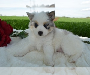 Pomsky Puppy for sale in HONEY BROOK, PA, USA
