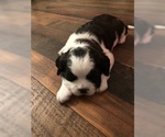 Small #5 Boston Terrier-Cavalier King Charles Spaniel Mix