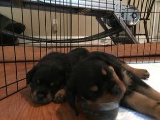 Rottweiler Puppy for sale in SMYRNA, GA, USA