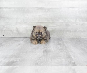 Pomeranian Puppy for sale in CLEVELAND, NC, USA