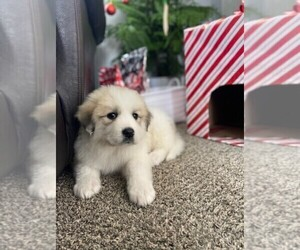 Great Pyrenees Puppy for sale in BLACK FOREST, CO, USA