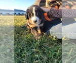 Small #15 Bernese Mountain Dog