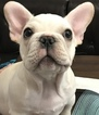 French Bulldog Puppy For Sale in ALLEN, TX, USA