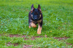 German Shepherd Dog Puppy For Sale in CLEMENTS, CA, USA