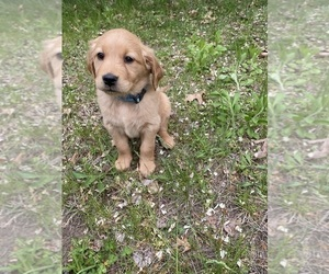 Golden Retriever Puppy for Sale in MONON, Indiana USA