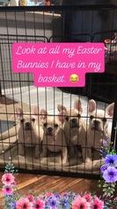French Bulldog Puppy For Sale in ALLEN, TX, USA