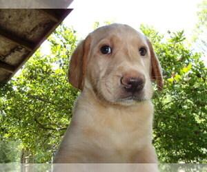 Labrador Retriever Puppy for Sale in MIDLAND, Michigan USA