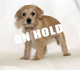 Schnoodle (Miniature) Puppy For Sale in MINNEAPOLIS, MN, USA