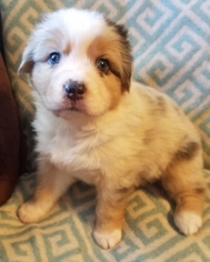 Australian Shepherd Puppy For Sale in DENTON, TX, USA