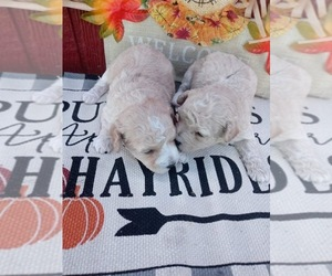 Poodle (Toy) Puppy for Sale in BRADFORDSVILLE, Kentucky USA