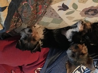 Yorkshire Terrier Puppy for sale in HALETHORPE, MD, USA