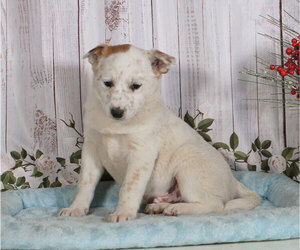 Australian Cattle Dog Puppy for sale in PENNS CREEK, PA, USA