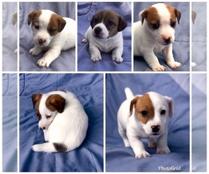 Jack Russell Terrier Puppy for sale in PINNACLE, NC, USA