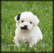 Poovanese Puppy For Sale in WAYLAND, IA, USA