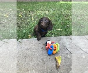Dachshund Puppy for Sale in NASHVILLE, Tennessee USA