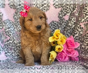 Goldendoodle (Miniature) Puppy for Sale in CEDAR LANE, Pennsylvania USA