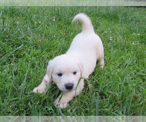 Golden Retriever Puppies for Sale near Suffield, Connecticut, USA