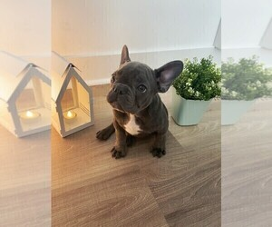 French Bulldog Puppy for sale in YONKERS, NY, USA