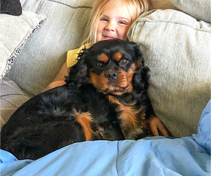 Father of the Cavalier King Charles Spaniel puppies born on 05/16/2020