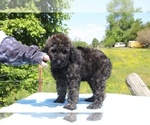 Small #15 Goldendoodle