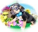 Small #2 Jack-Rat Terrier Mix